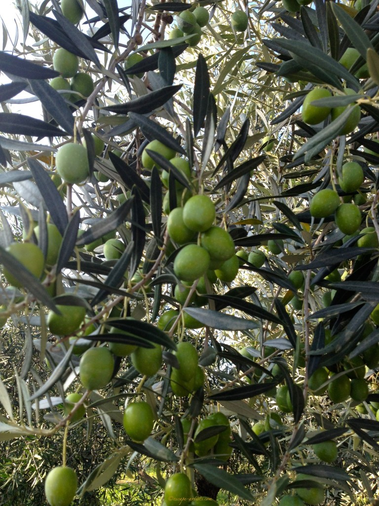 Beautiful olives, ready for the pickin!!